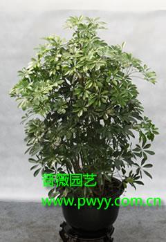 盆栽鸭掌木经过造型后通常