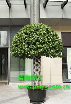 [3]  4栽培技术  栽培管理  榕树盆景是具有生命力的象征的造型景观