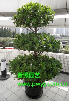 园艺上常见栽培橡皮树,圆叶橡   榕盆景(3张)  皮树,菩提树,琴叶榕