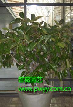 大型橡皮树-上海普薇园艺有限公司
